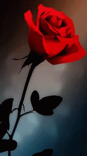 Red Rose GIF - Red Rose - Discover & Share GIFs