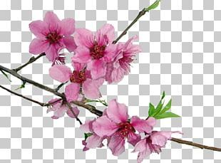 Cherry Blossom Png Images Cherry Blossom Clipart Free Download Cherry Blossom Petals Cherry Blossom Free Clip Art