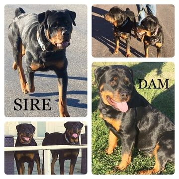 Rottweiler Puppy For Sale In Liberty Mo Adn 58027 On Puppyfinder