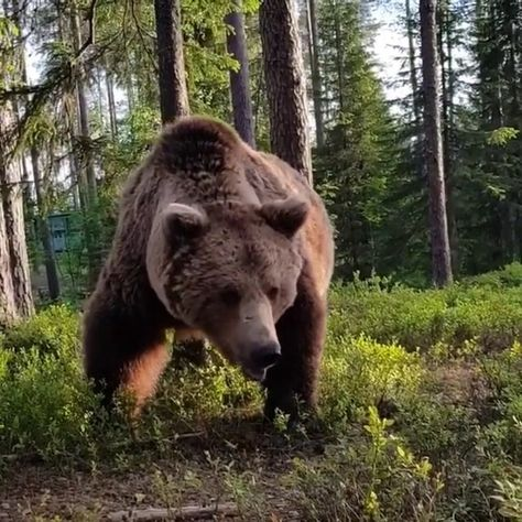 "Nature Animals Travel on Instagram: ""@d.arkhipov encountered this bear less than a meter from his tent in Karelia. 🐻🏕"""