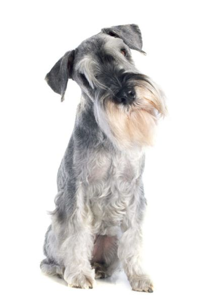 Standard Schnauzer Puppies For Sale Height 17 5 To 19 5 Inches At The Shoulder Weight 30 Schnauzer Puppy Standard Schnauzer Standard Schnauzer For Sale