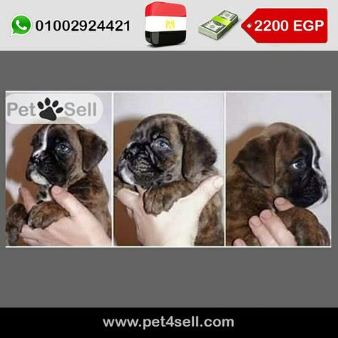 Egypt Cairo Boxer Puppy 48 Days Pet4sell Boxer Puppy Pets