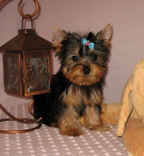 Yorkie Puppies 300 Yorkiepuppyforadoption Yorkie Puppy