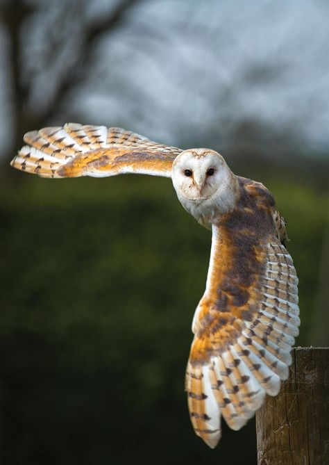 Barn Owl populations have severely dropped as housing developments and shopping centers have replaced open agricultural fields. This decrease in …