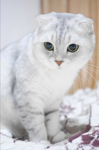 Scottish Fold Cats A Complete Guide Schottische Faltohrkatzchen