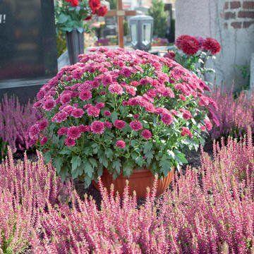 Grabdekoration Mit Chrysanthemenkugel Und Erica In 2020 Grabbepflanzung Bepflanzung Gartengestaltung Ideen