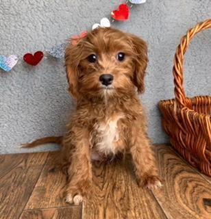 Scruffy Male Cavapoo 500 Cute Puppies For Sale Cavapoo Cavapoo Puppies