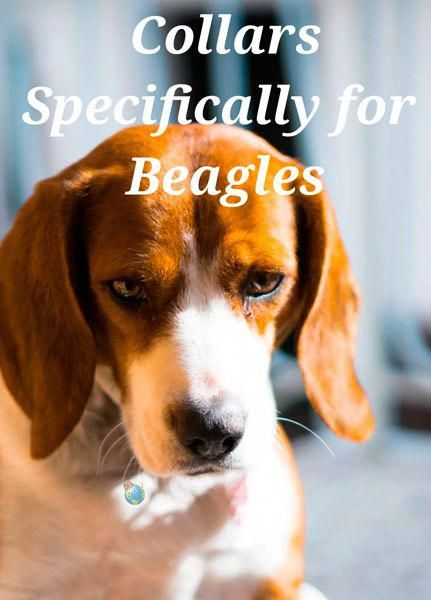 Fantastic Beagles Information Is Readily Available On Our Website