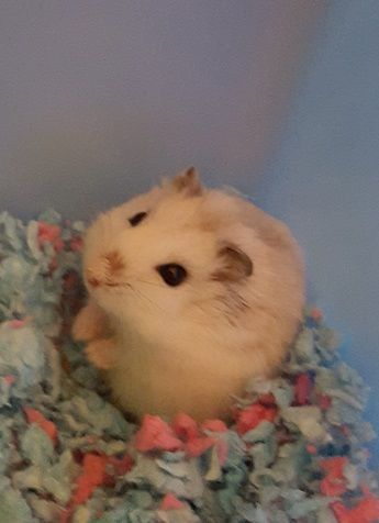 dies from cuteness* ~AS | Hamster Cuteness | Syrian hamster, Baby