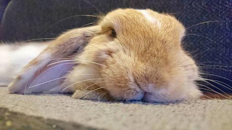 buzzfeedanimals Sleepy bunny smile...