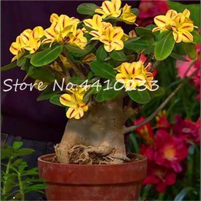 100% True Adenium Obesum Bonsai Exotic Desert Rose Flowers Balcony Desert-Rose Bonsai MultiColor Petals Succulents Tree 5 Pcs