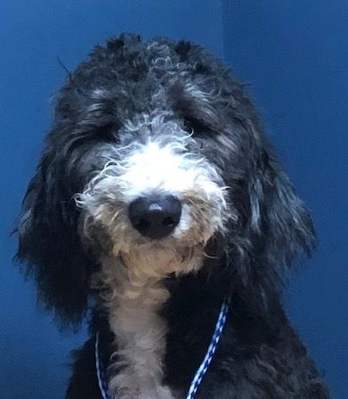 Adopt Grover On Poodle Mix Dogs Animal Rescue Australian Shepherd