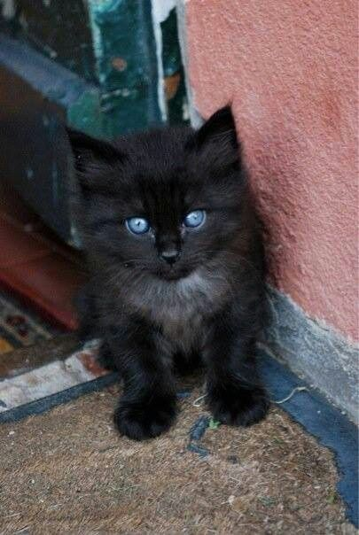 Oh My Goodness This Kitten Is So Adorable And Has Such Gorgeous Blue Eyes Https Welovekitties Com Pin Oh My Goodn Pretty Cats Kittens Cutest Beautiful Cats