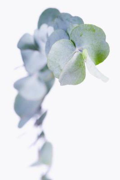 When To Prune A Silverdrop Eucalyptus Eucalyptus Tree Eucalyptus Tea Plants