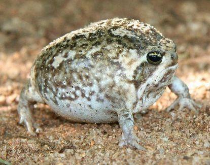 まんまるでピーピー鳴く ナマカフクラガエル がかわいい Naver まとめ Frog Animals Reptiles Pet