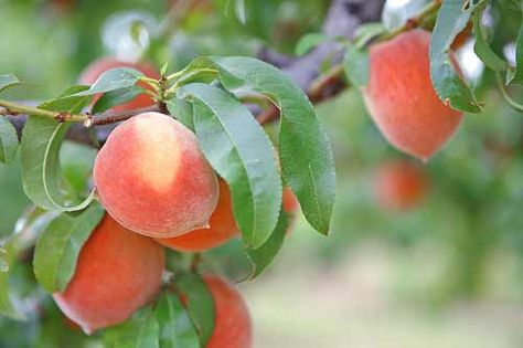 SC produces more peaches than the peach state! ;)