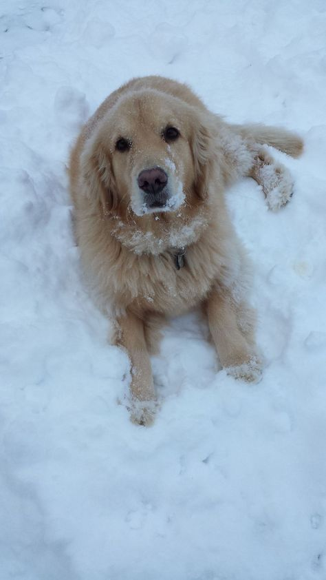 Golden Retriever Cooling Down In The Snow Dogs Golden Retriever