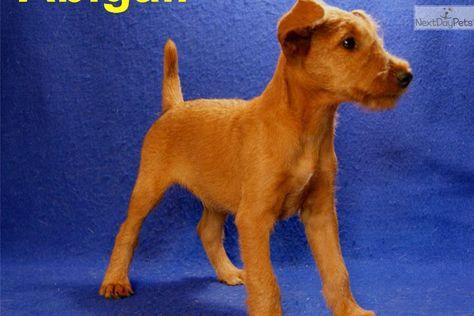 Meet Abigail A Cute Irish Terrier Puppy For Sale For 700 Irish