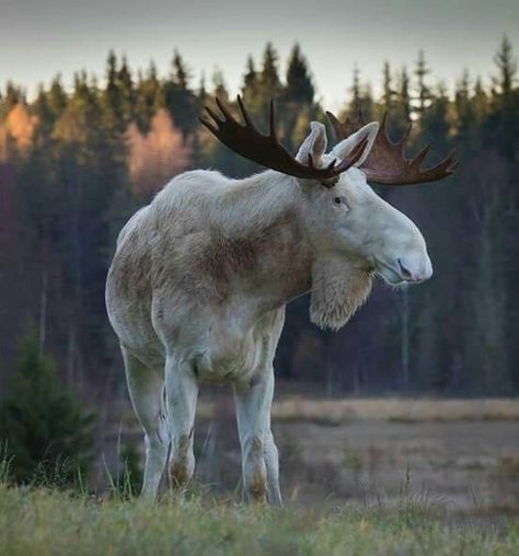 Always thought Moose were strange looking creatures. This is a handsome one Always thought Moose were strange looking creatures. This is a handsome one Amazing Animals, Majestic Animals, Rare Animals, Animals Beautiful, Animals And Pets, Funny Animals, Strange Animals, Forest Animals, Animals In The Wild