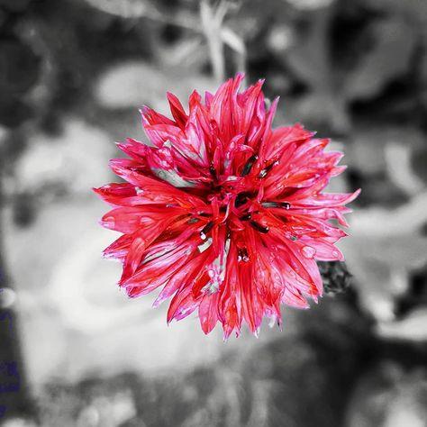RIP #911 . . . . . #day #bloom #peace #mindfulness . . . #garden #gardens #gardening #pollinators #bees #savethebees #environment #plants #wildflower #wildflowers #colour #cornflower #red #abstractart #art