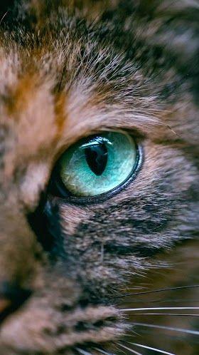 Meo Wallpaper Hd Pets Collection Laginate Cat Wallpaper Cats Pets