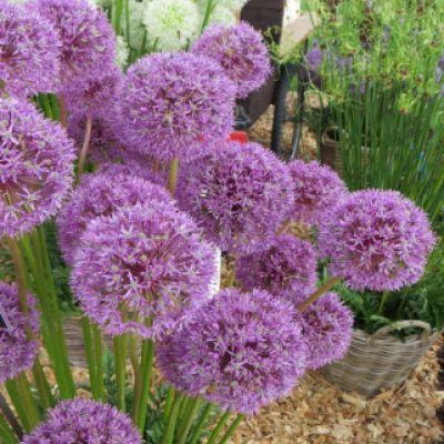 Allium Giganteum Allium Giganteum Hardy Perennials Planting Bulbs
