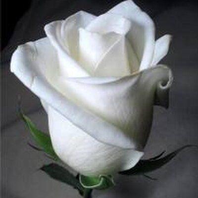 شكل وردة الكادي Beautiful Roses Rose Pictures White Roses