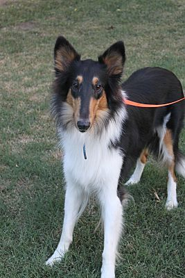 Wichita Ks Collie Meet London A Dog For Adoption Dog