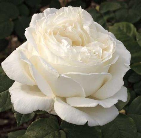 Rosier Jeanne Moreau ® Meidiaphaz, rosiers à grandes fleurs Meilland Richardier
