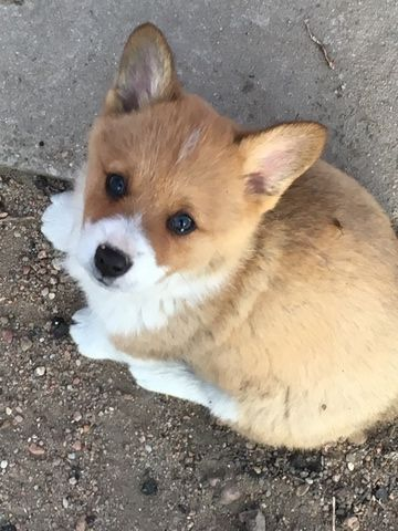 Litter Of 8 Pembroke Welsh Corgi Puppies For Sale In Great Bend