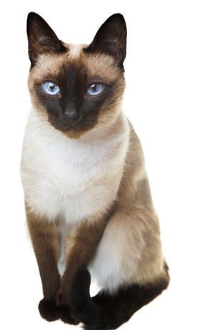 Seal Point Siamese Siamesecat Cats Siamese Kittens Beautiful Cats
