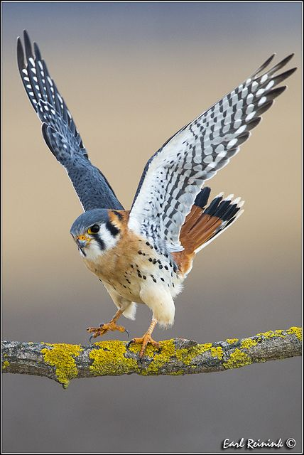 """American Kestrel or Sparrow Hawk ~ A small falcon, and the only Kestrel found in the Americas. ~ Miks' Pics """"Fowl Feathered Friends V"""" board @ http://www.pinterest.com/msmgish/fowl-feathered-friends-v/"""