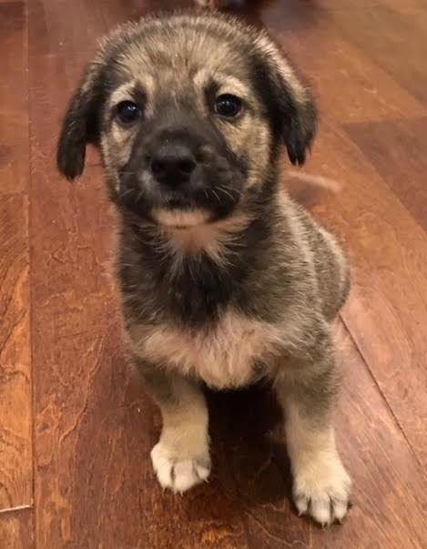 Adopt Adley On Dogs German Shepherd Dogs Pup