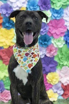 Philadelphia Pa American Pit Bull Terrier Meet Midnight A Dog
