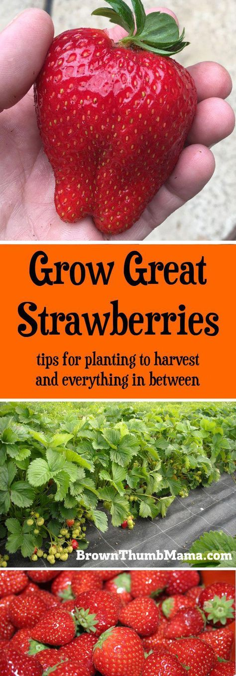 Grow Gallons of Strawberries