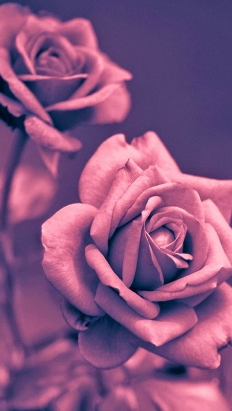 Beautiful Pink Rose Closeup Iphone Wallpapers Rose Gold