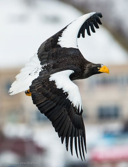 The Steller's Sea Eagle lives in coastal NE Asia and preys mainly on fish and water birds. It's one of the world's heaviest eagles (11-20 lbs), tho it lags behind the Harpy and Philippine eagles in some measurements. This bird is named after the German naturalist, Georg Wilhelm Steller.