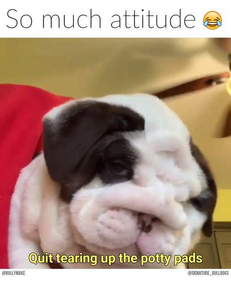 English Bulldog Puppy is SASSY