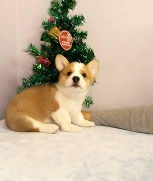 Dogs247 Dogs 247 Instagram Posts Videos Stories On Bildgram Com Welsh Corgi Puppies Corgi Corgi Puppy