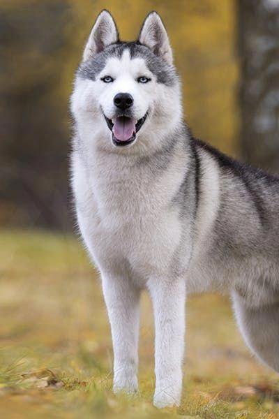 All About Siberian Husky Temperament Siberianhuskygram