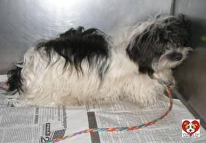 Adopt 381 Domino 5 Rescued On Shih Tzu Dog Dog Pounds