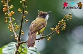 Burung Cucak Jenggot Hampir Punah Burung Binatang Jalak