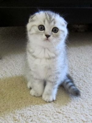 Scottish Fold Kittens For Sale 3 White Kittens 1boy And 1girl