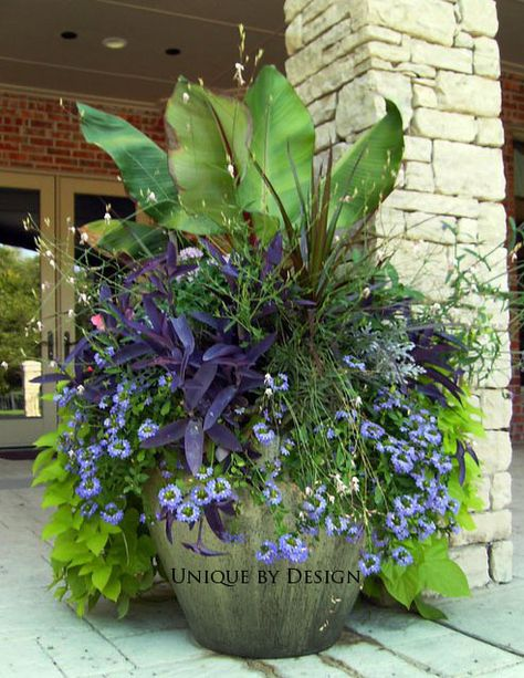 Banana tree, Cordyline, guara, scaevola and purple heart with sweet potato vine. The guara floated about like butterflies all summer!  Love!  #garden #container