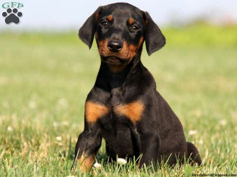 Dexter Doberman Puppy For Sale In Lancaster Pa Doberman