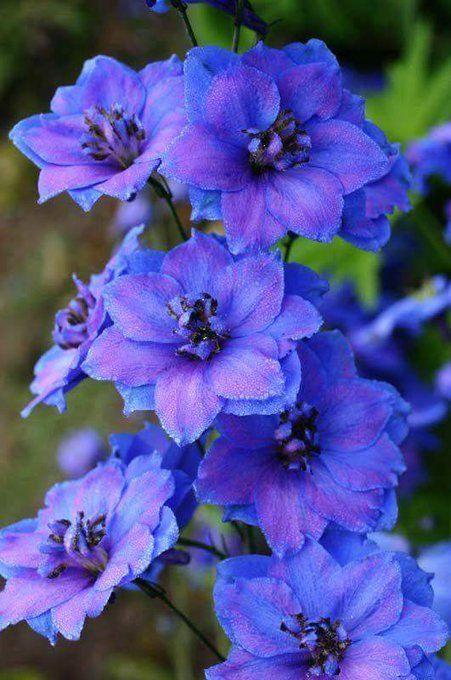 Fiori Blu E Bianchi.Espuela De Caballero Coltivare I Fiori Fiori Blu E Fiori