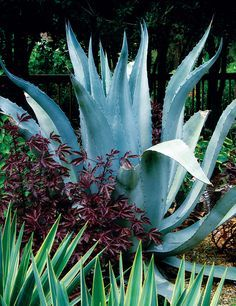 Agave Americana Is A Cold Weather Warrior In The Garden