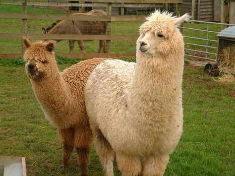 Gifts That Do Good Alpaca Stuffed Animal Animals Animal Pictures