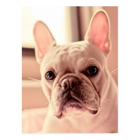 French Bulldog Puppy Postcard Zazzle Com With Images Bulldog