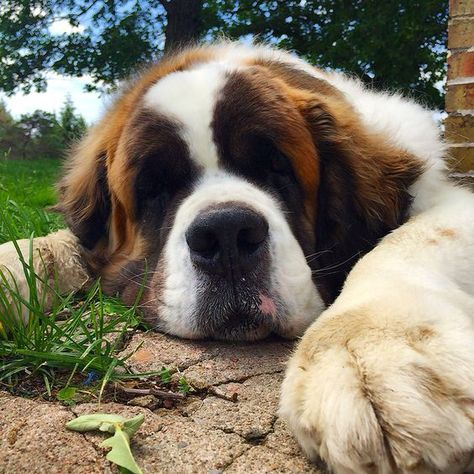 Bernard's Big Barker dog beds - This St. Bernard has the sweetest face, so cute! Bernard has the sweetest face, so cute! Chien Saint Bernard, St Bernard Puppy, Huge Dogs, I Love Dogs, Cute Puppies, Dogs And Puppies, Doggies, Cute Baby Animals, Funny Animals
